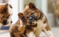 Foto Malattie da zecche nel Cane: quali sono?
