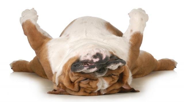 sindrome brachicefala cane