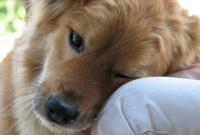 Foto 5 malattie genetiche nei Cani