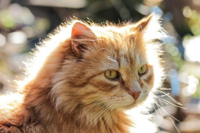 Foto Il Gatto ha l'occhio secco: sintomi e cure