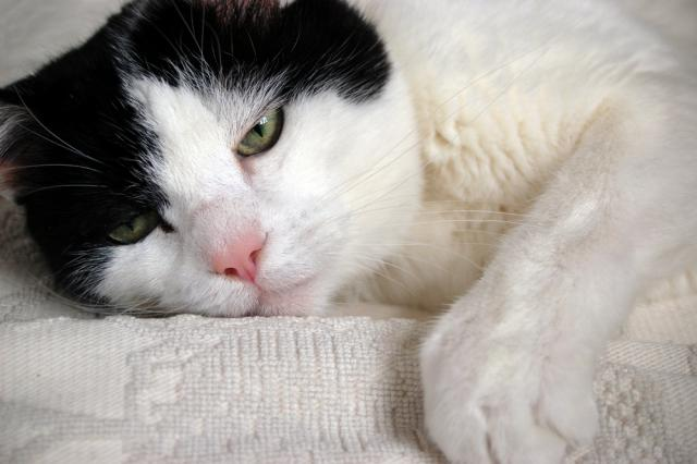 occhio secco nel gatto