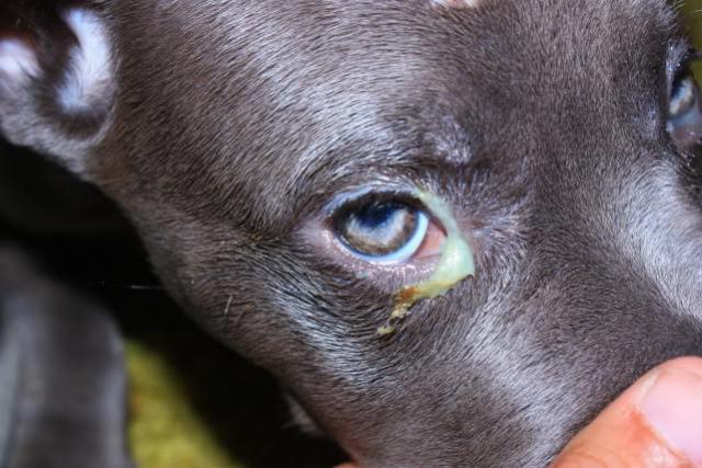 occhio secco e muco cane