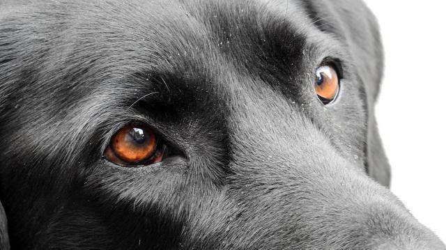 infezione congiuntivite cane