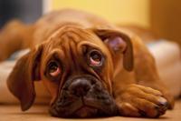 Foto Infezione agli occhi nel cane: cause e trattamento