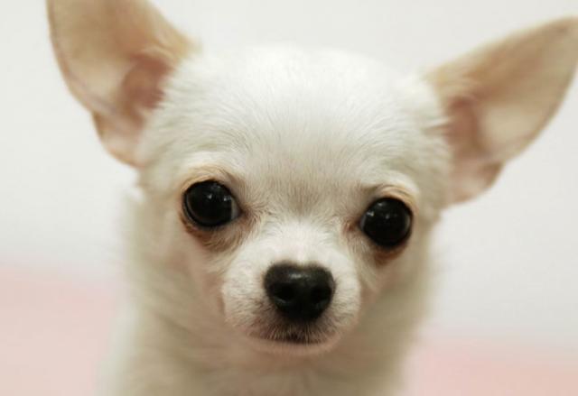 Foto Chihuahua: carattere e personalità