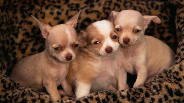 cuccioli di chihuahua