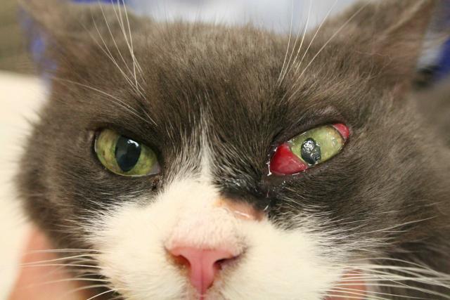 infezione congiuntivite gatto