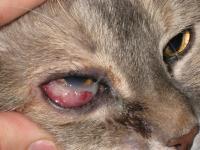 gatto malattie occhi