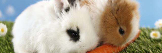 affanno coniglio