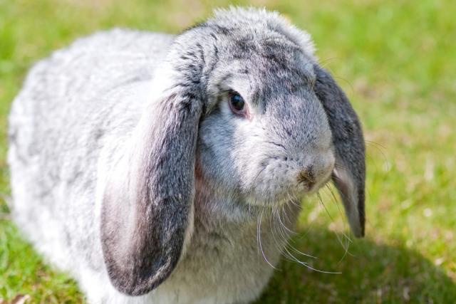 Foto Blocco intestinale nel Coniglio: cause e trattamento