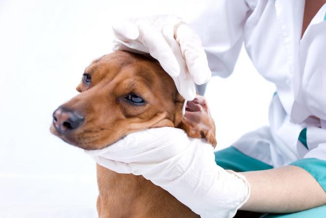 Foto Meningite nel cane: diagnosi, sintomi e cure