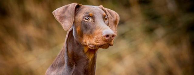 castrazione chimica cane