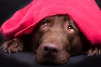Foto Castrazione chimica nel cane