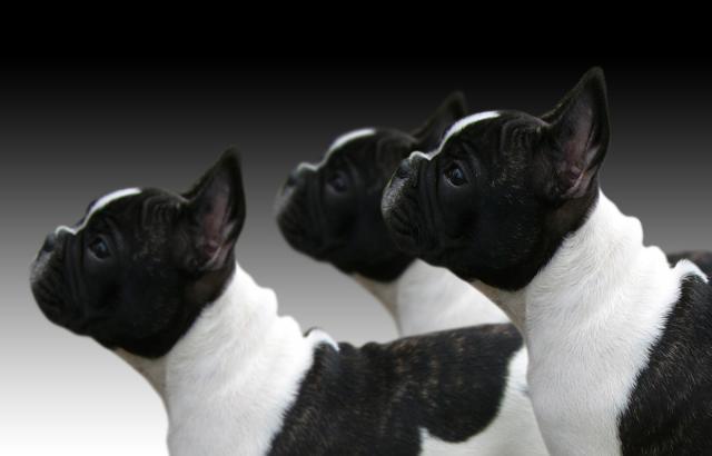 Foto Sindrome cane brachicefalo: sintomi e trattamento