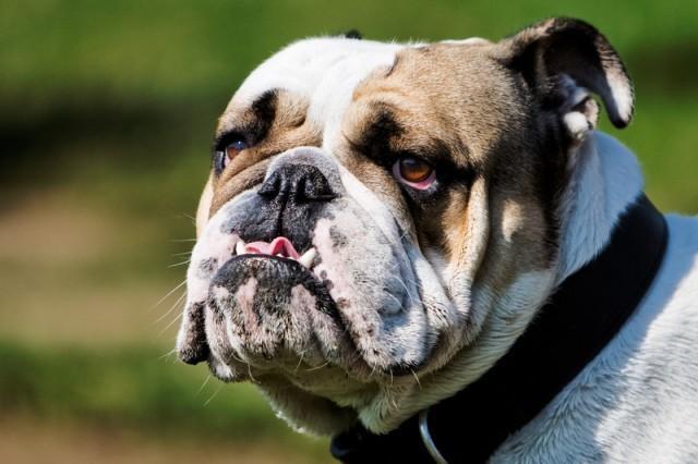 Foto Ipersalivazione nel cane: perchè il cane sbava?