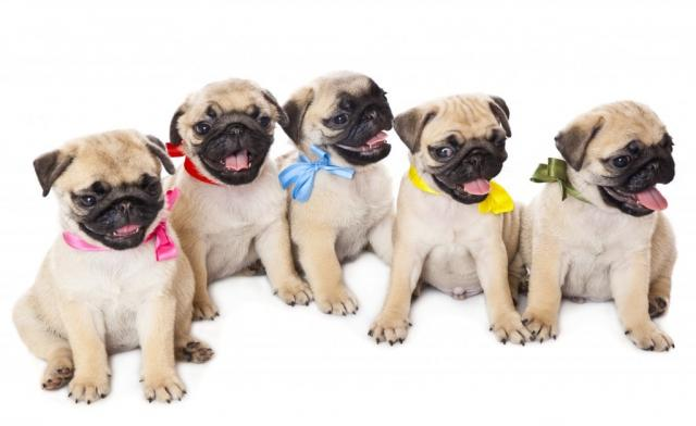 Foto 10 razze di Cani più costose