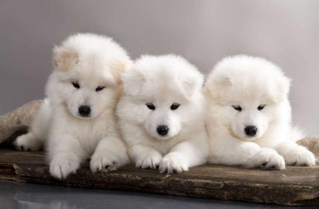 prezzo cane somiedo