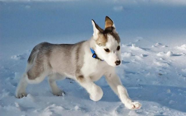 prezzo husky canadese