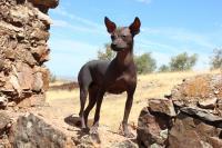 prezzo Cane nudo del Perù
