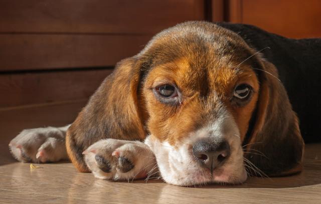 Foto Sindrome di Cushing nel Cane: cause, sintomi e trattamento