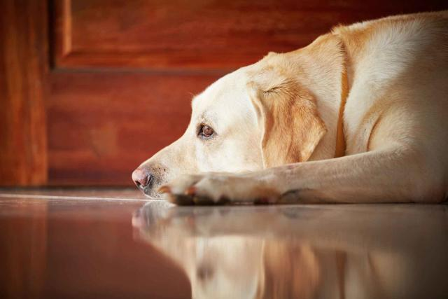 malattia di cushing cane