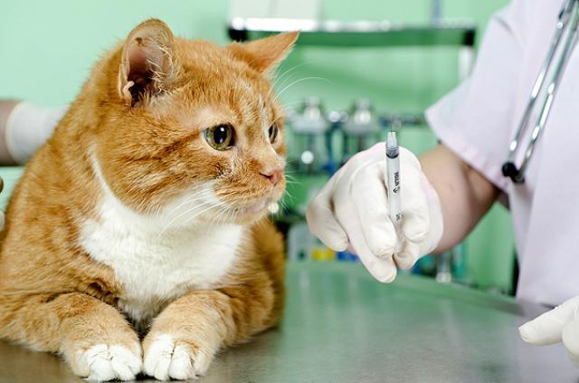 Foto Vaccino per la Leucemia Felina nei Gatti