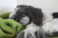 Foto Vomito nel cane: cause e cure