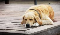 Foto Perchè il mio cane dorme tanto?