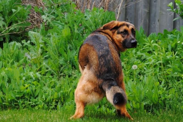 Foto Diarrea gialla nel cane: cause e trattamento