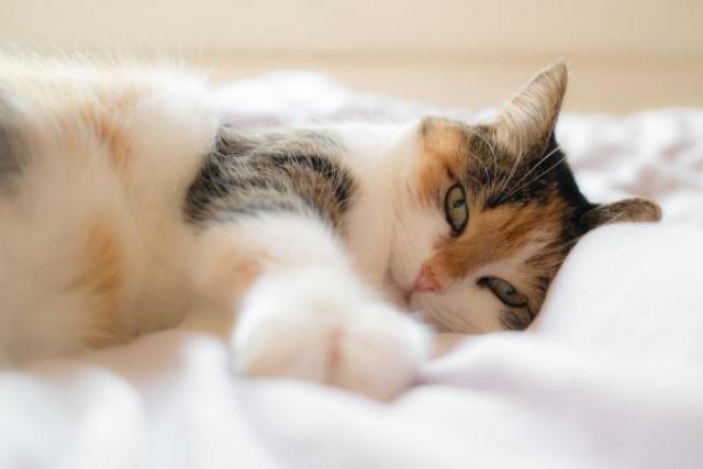 Foto Gas intestinale nel gatto: cause e trattamento