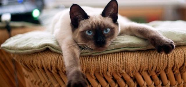gatto siamese carattere