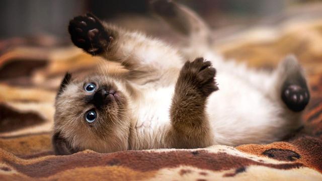 igiene gatto siamese