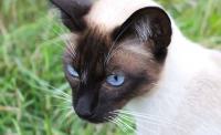Foto Gatto Siamese: origini, carattere e cura