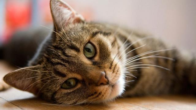 gatto ha la tosse