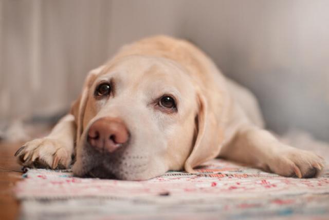 Foto Anchilostomi nei cani: come eliminarli?