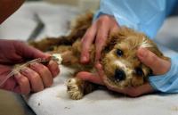 Foto Melena (sangue nelle feci) nel cane: cause e cure