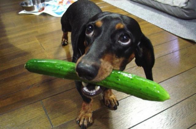 Foto Il Cane può mangiare cetrioli?