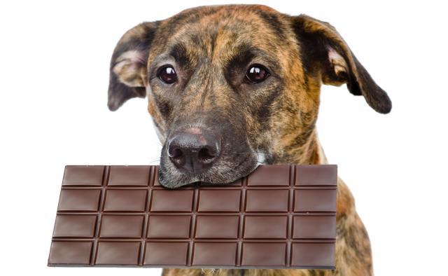 Foto Perchè il cioccolato fa male al Cane?