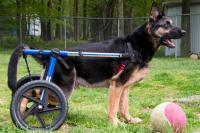 cane con artrite