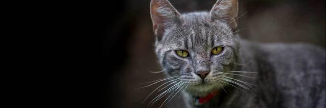 gatto debole letargico