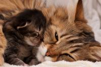 Foto Quanto dura la gravidanza nel Gatto?