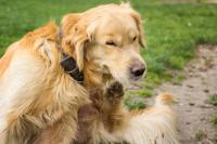 Foto Prurito, prurito, prurito - Il cane non smette di grattarsi