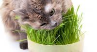 gatto vomita erba