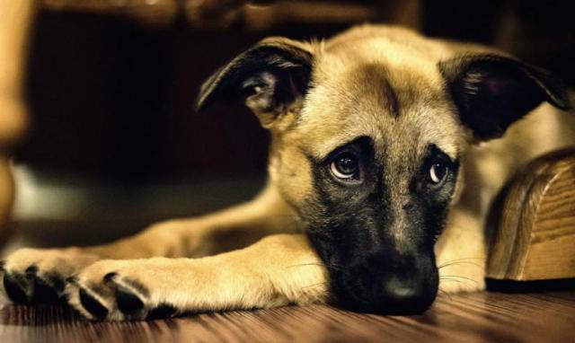 cane triste piange