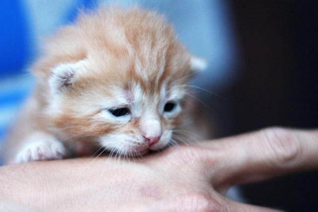 Foto Svezzamento del gatto: alcuni consigli