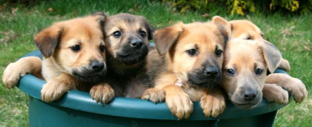 cucciolata cani