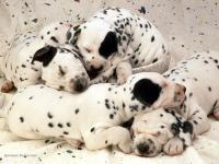 Foto Quanti cuccioli può avere un cane?