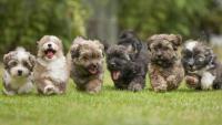 inseminazione cane cuccioli