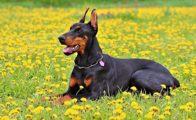 Foto 15 Migliori cani da guardia