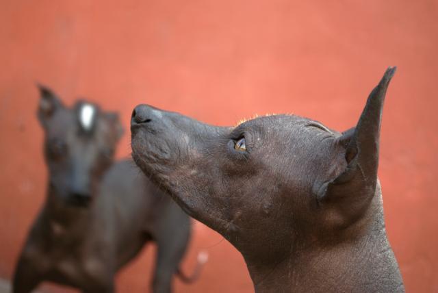 Foto 6 razze di Cani senza pelo